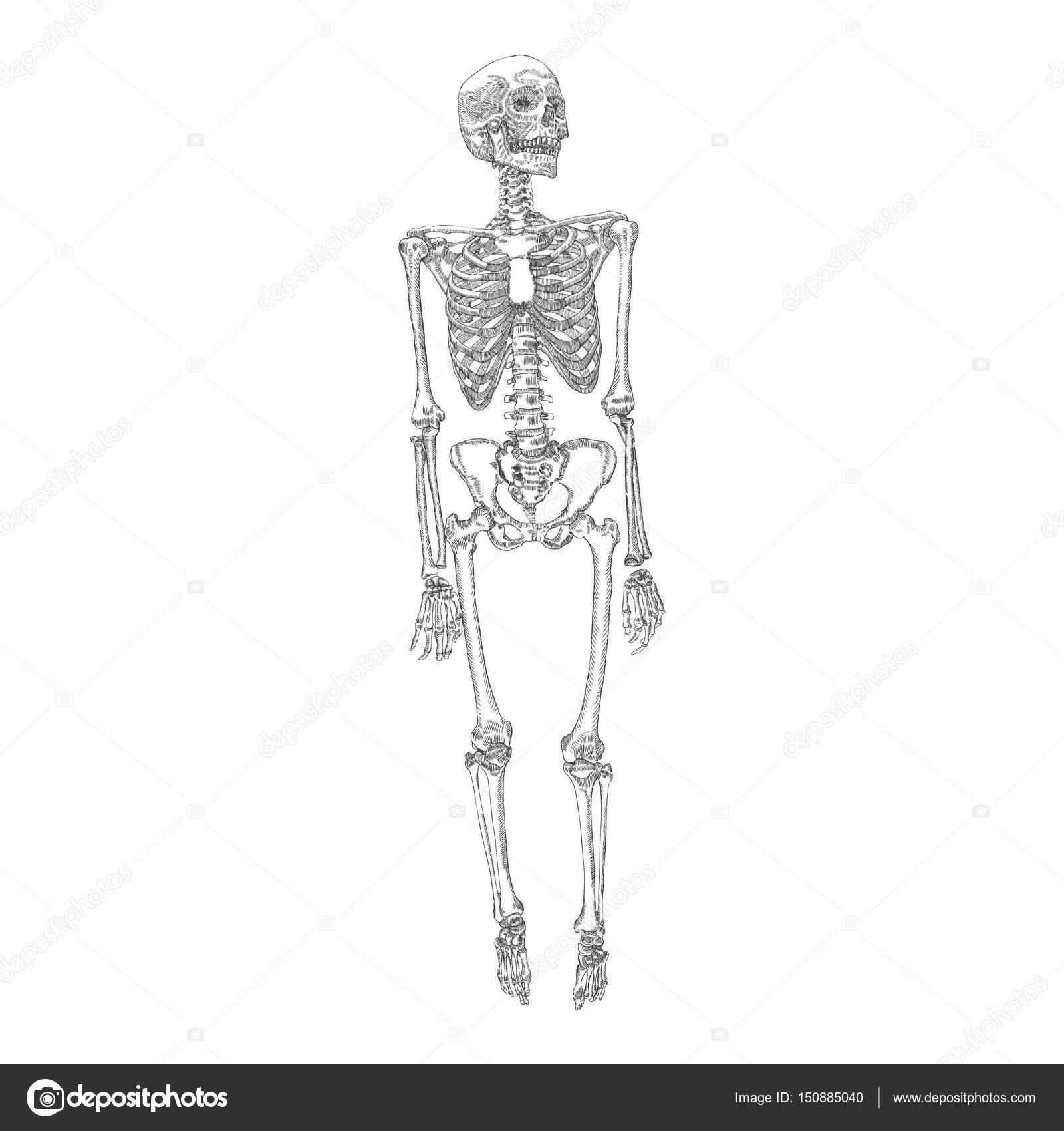 Menschliche Knochen Skelett Zeichnung — Stockvektor © goldenshrimp ...