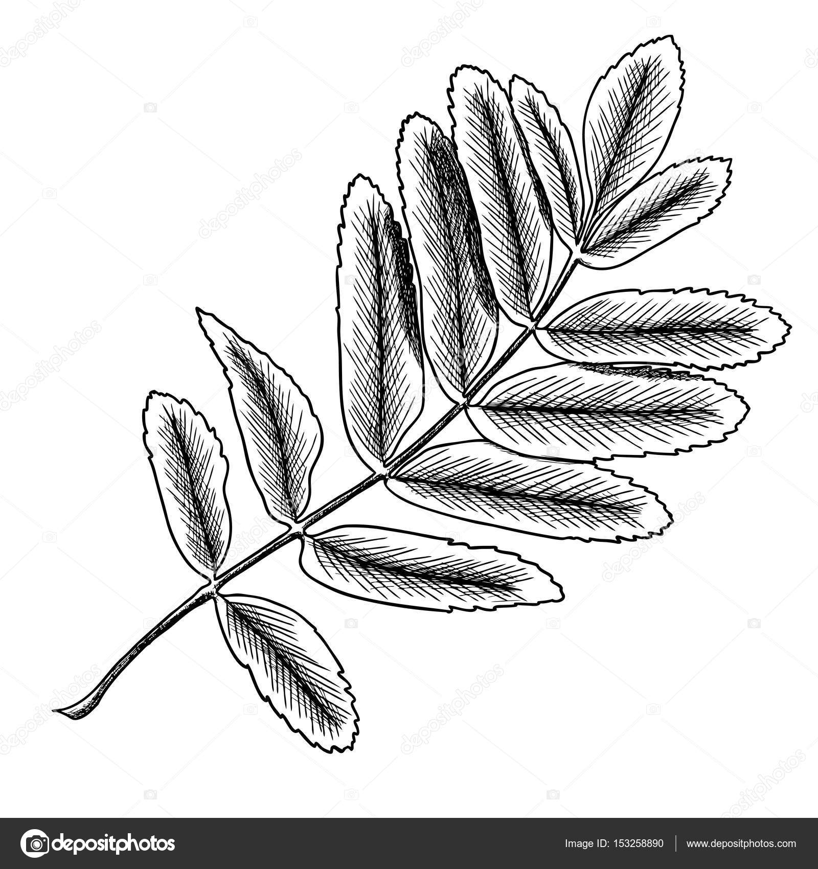 Berries And Rowan Leaves Hand Drawn In Rustic Design Drawing Element Of Sorb Wild Ash Pit Or Tree