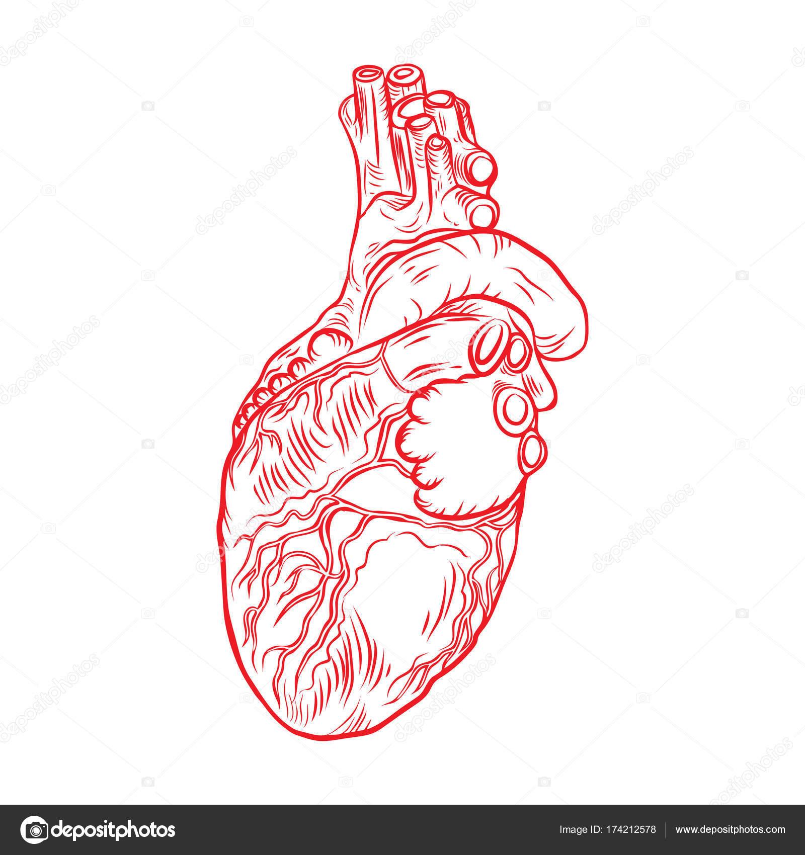 Rotes Herz mit Aorta, Venen und Arterien — Stockvektor ...