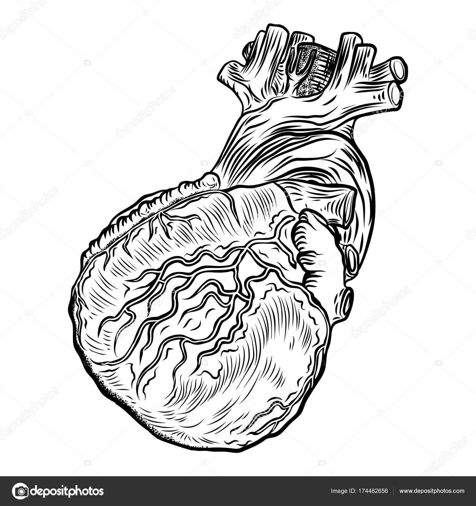 Menschlichen Herzens in Anatomie — Stockvektor © goldenshrimp #174482656