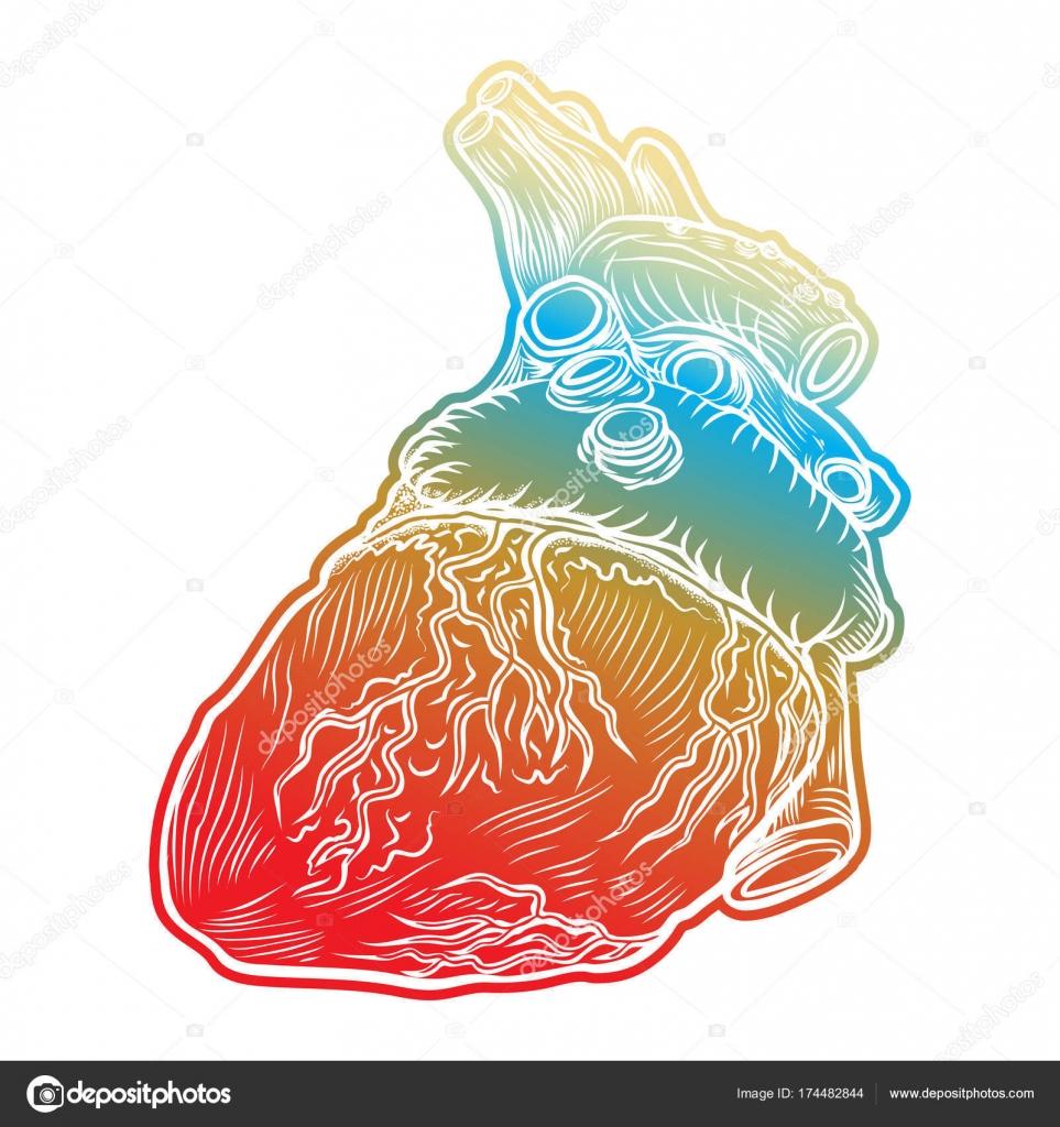 Corazón humano rojo con aorta, venas y arterias aisladas — Archivo ...
