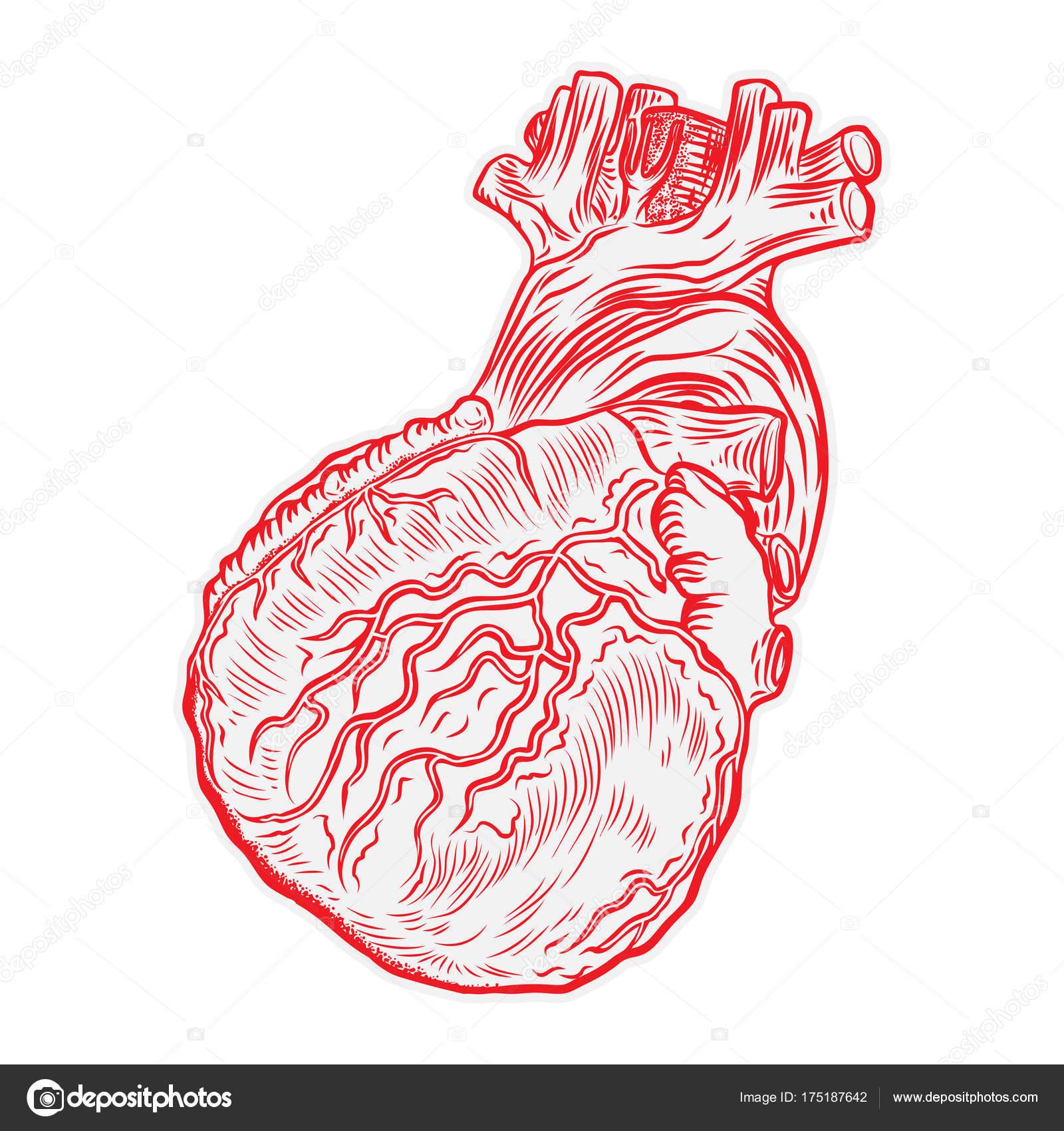 Corazón humano anatómica rojo — Vector de stock © goldenshrimp ...
