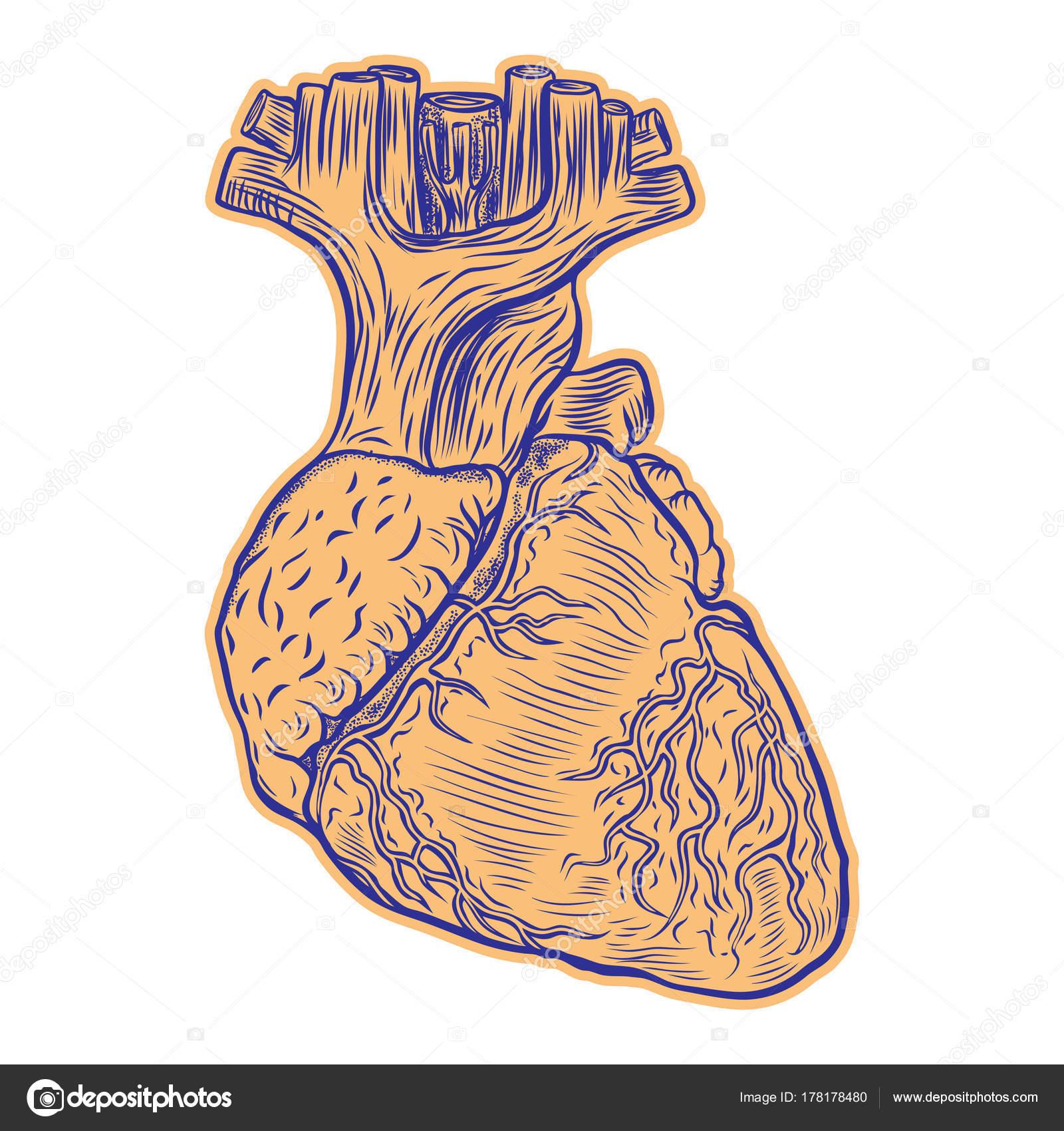 Dibujo Del Corazón Realista Corazón Humano Realista Dibujo