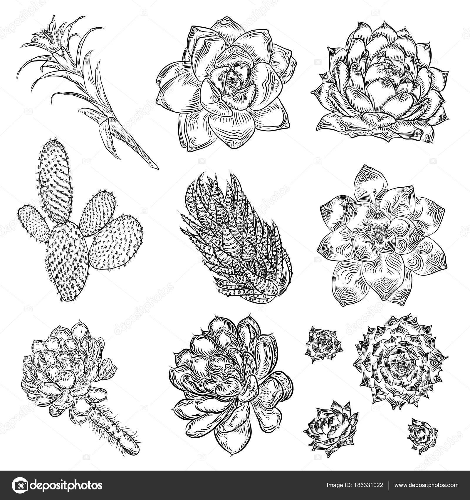 Vector Succulent Outline - Best Succulent Ideas  Cactus Flower Outline