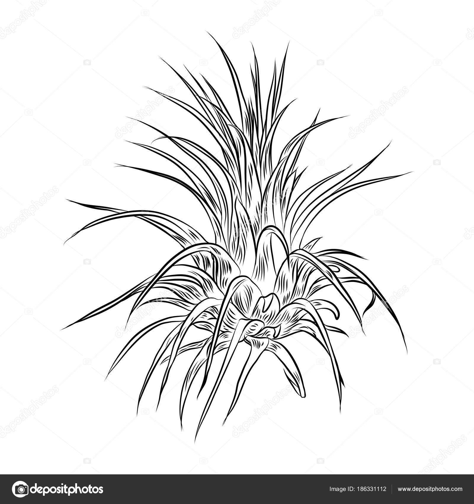 Air Plant Tillandsias Cactus Fashion Design Cacti Mood Sketchy Hand Vector Image By C Goldenshrimp Vector Stock 186331112