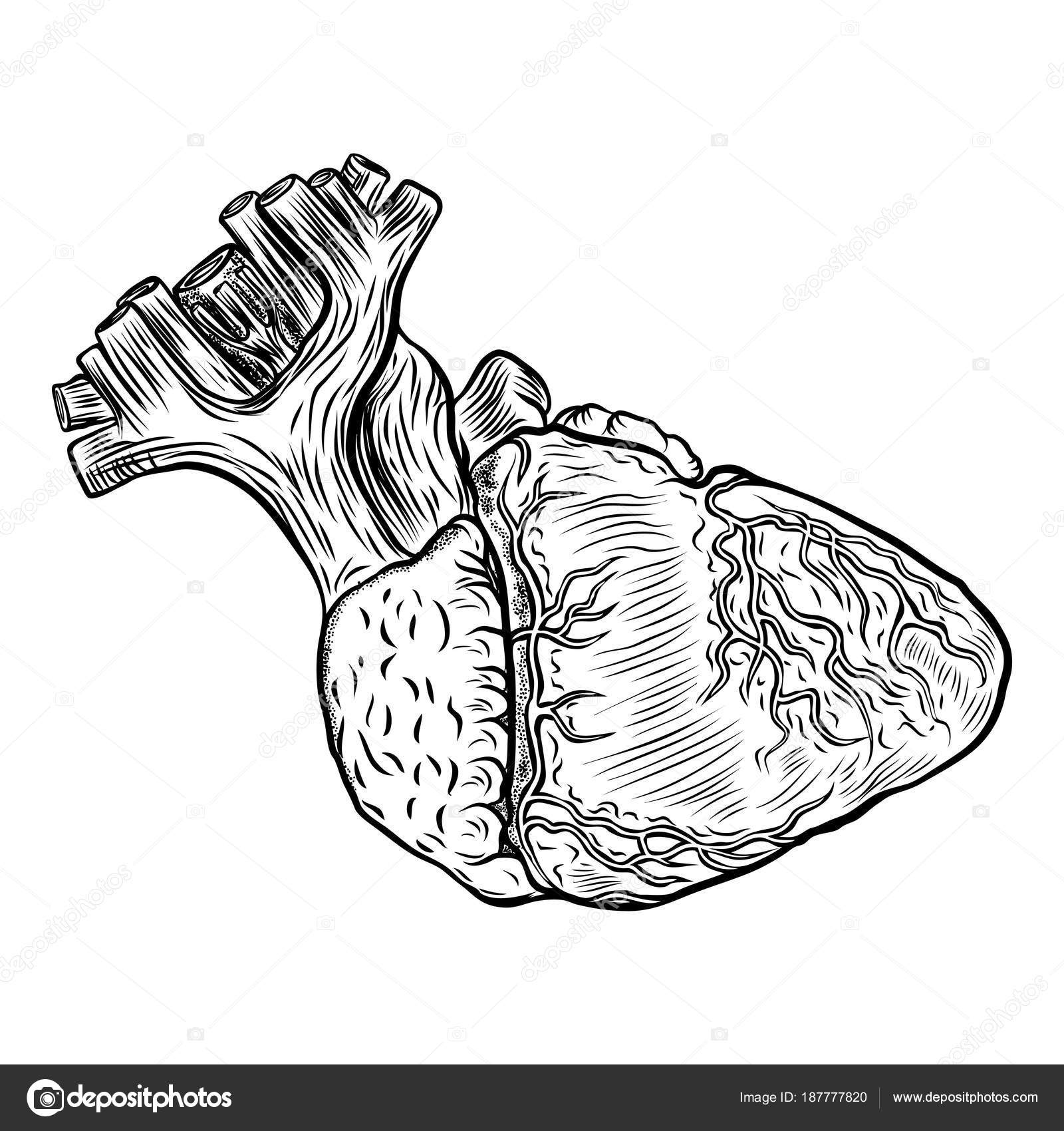 Anatomía corazón sobre fondo blanco. co de la ilustración dibujados ...