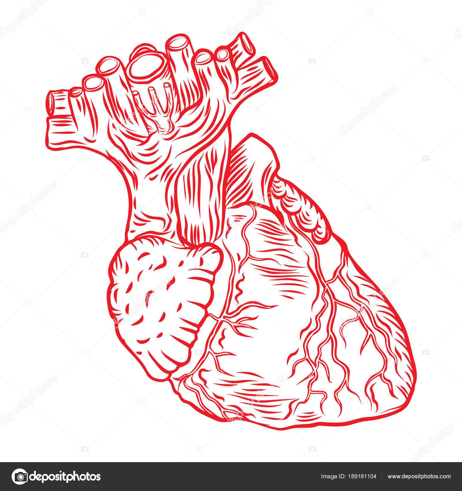 Corazón humano rojo con aorta, venas y arterias aisladas en blanco ...