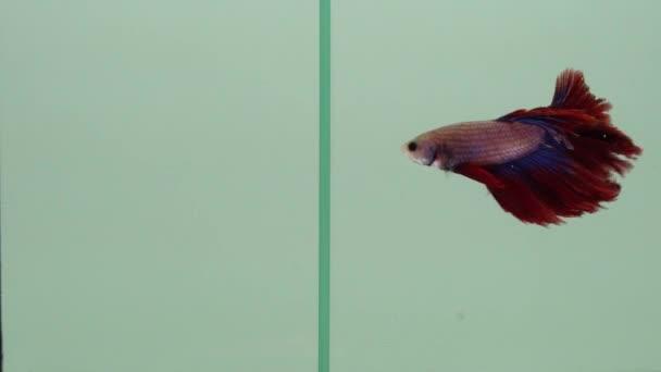 Akvaryumda Betta balığıyla savaşan altın balıklar, ilişki ve iletişim konsepti olarak birbirleriyle yüzerler. Dövüş ve çatışma fikri illüstrasyonu.