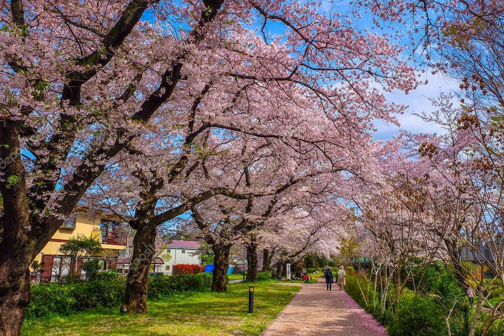 beautiful path with sakura trees