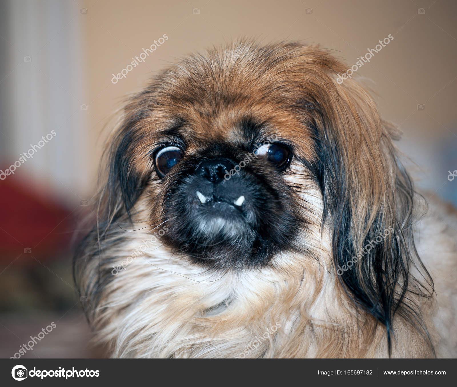 Ein Porträt Von Ein Pekinese Hund Stockfoto Unitxi 165697182