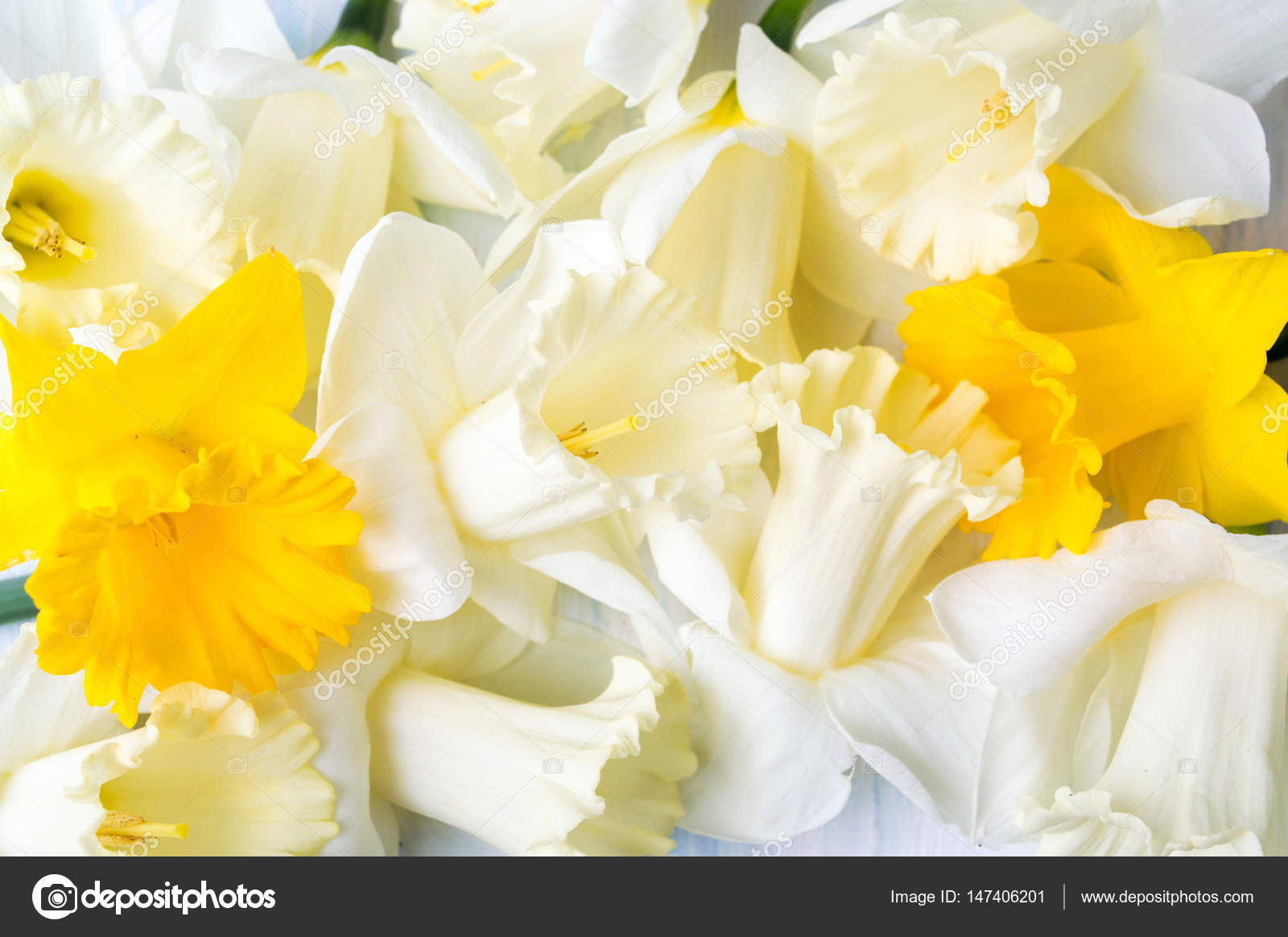White And Yellow Carcissus Spring Flowers Stock Photo