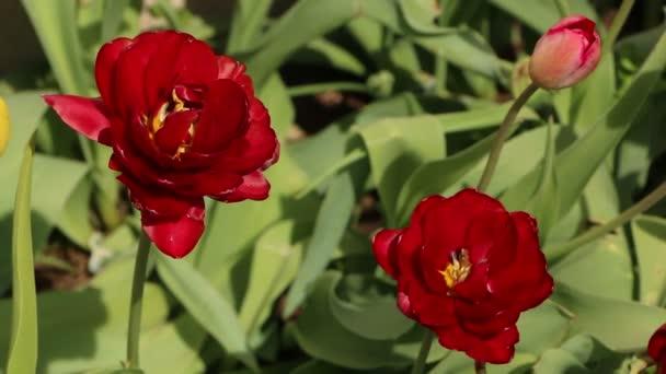 Szekrény élénk piros tulipánok zöld levelek a kertben. Gyönyörű virágzás tavasszal a napfény alatt.