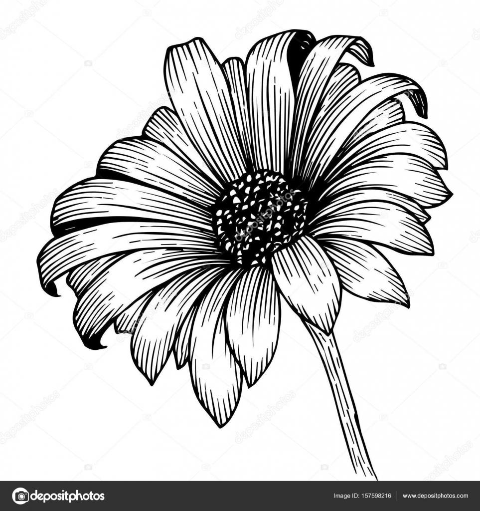 Dibujo de flor crisantemo — Archivo Imágenes Vectoriales ...