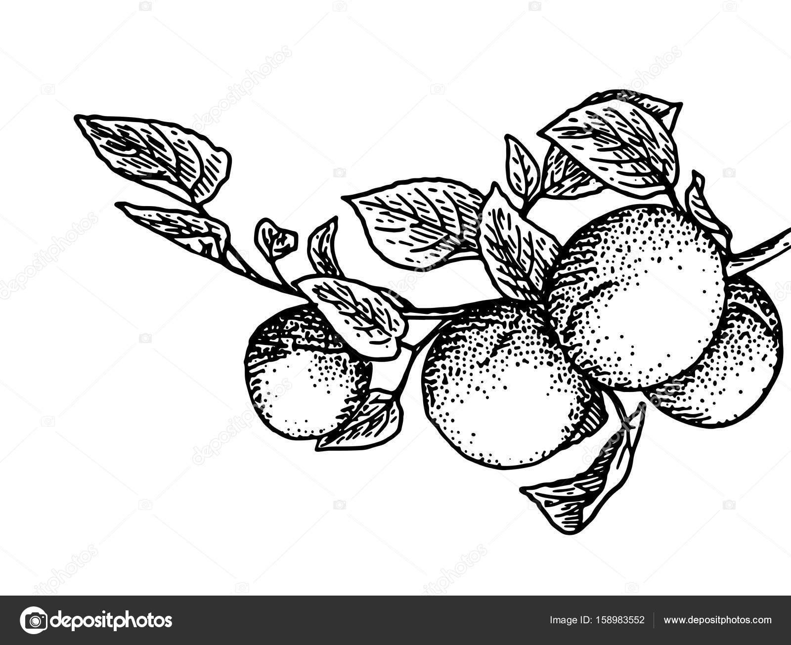 Rama De Durazno Vector De Stock Littlemagic 158983552