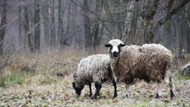 ovce v lese