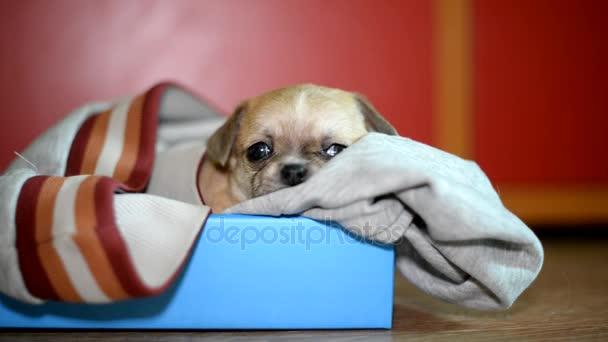Chihuahua kölyök. Kölyök piros szín
