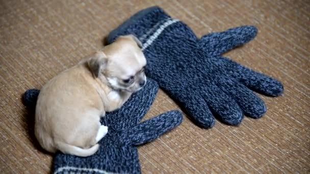 Čivava štěně. Štěně spí na vlněné rukavice
