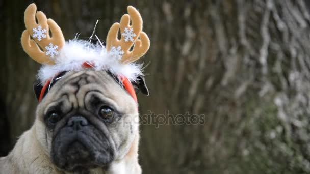 Nový rok. Pes tohoto plemene Mops vánoční barvy