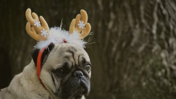Új év. A kutya a mopszli tenyészt egy új évet öltöny.
