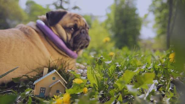 Real estate. Egy Mopszli kutya fekszik közelében egy kis ház.
