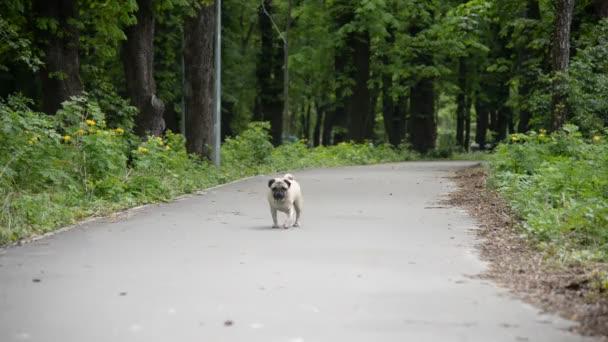A mopszli tenyészt-ból kutya. A kutya séta-ra a zöld gyep