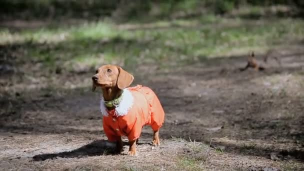 Dog walking. Dog Breeds Dachshund in clothes for dogs