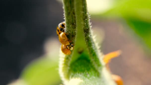Wasp lays the larva in a ladybug