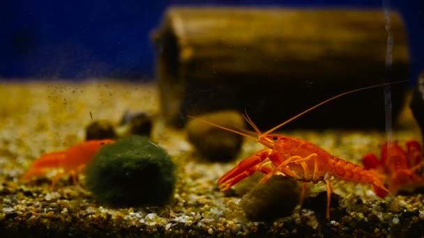 Piros dekoratív rák lebeg az akváriumban