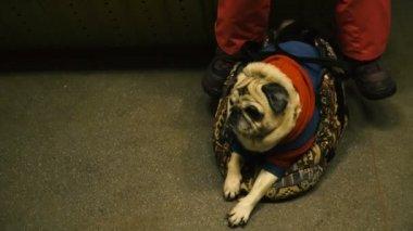 Egy kutya szállítására. A mopszli tenyészt kutya túrák a közlekedésben