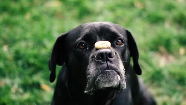 Kutyák tenyésztik Cane Corso-t. A kutya feldob egy bagelt, és elkapja a száját..