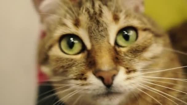 Portrét kočky. Detailní záběr na tvář kočky, která leží na židli.