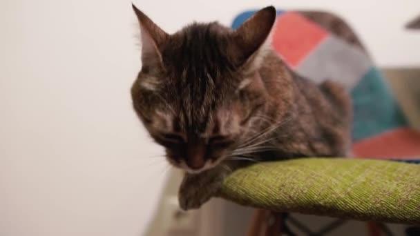 Cat. Kočka leží na židli a tlapa mu omývá obličej..
