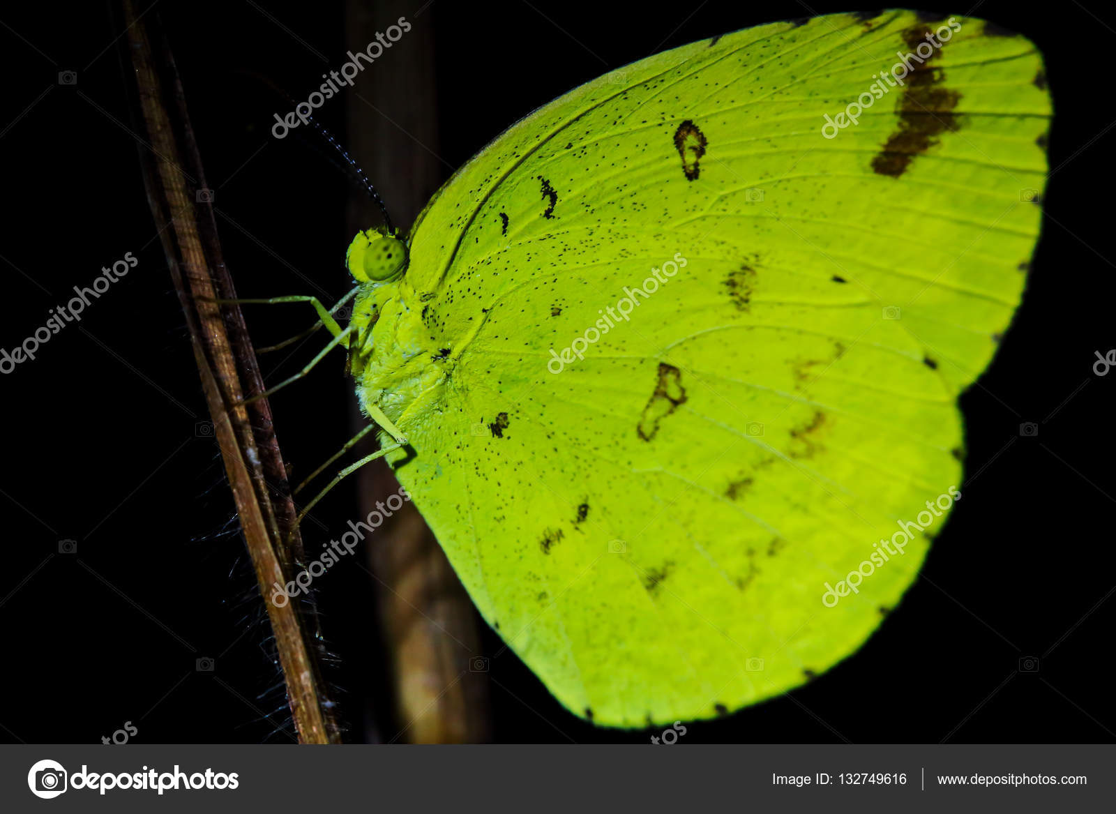 Butterfly Sleep At Night Stock Photo Tcareob72 132749616