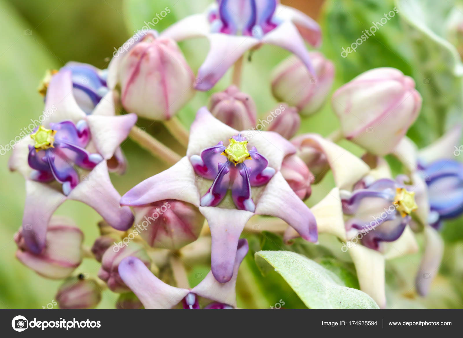 Closeup crown flowers stock photo tcareob72 174935594 closeup crown flowers stock photo izmirmasajfo
