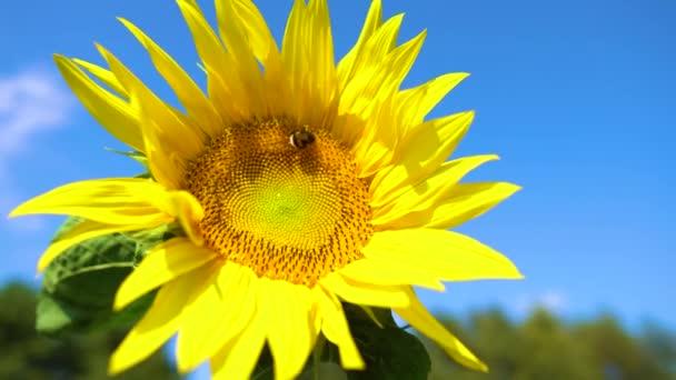 Čmelák letí na slunečnici. Blízko včel, opylujících žluté slunečnice na poli. Krásně kvetoucí slunečnicový květ na ekologické farmě