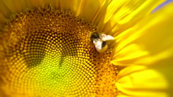 Velký slunečnice zblízka s velkým čmelákem opylení. Krásný makropohled na slunečnici v plném květu s včelami sbírajícími pyl. Včely dělnice a slunečnicové rostliny.
