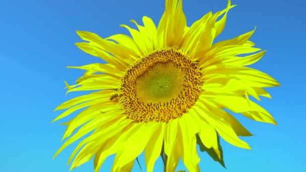 Včela sbírá pyl ze slunečnice na poli. Pole slunečnic. Slunečnice houpající se ve větru.