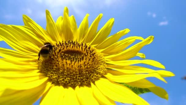 Slunečnice pracovní včela modrá obloha jasné slunečné počasí zblízka 4k přírodní energie ekologické zemědělství čisté farmy venku med pyl včely