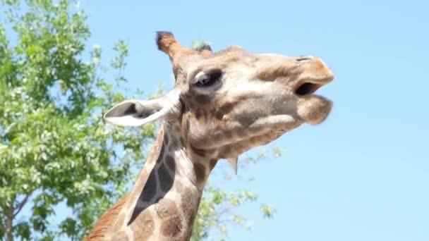 Funny giraffe in national park