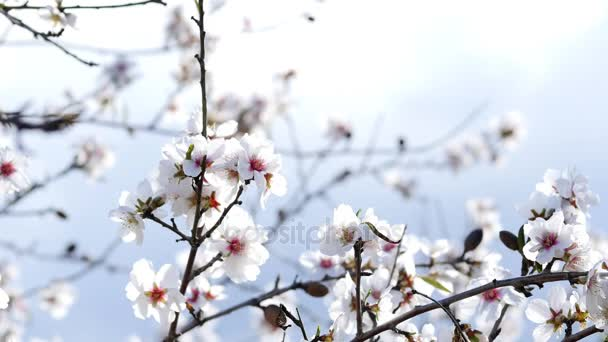 Spring. The flowering tree. Wild almond blossoms in Spain