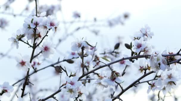 Jaro. Kvetoucí strom s včel. Velez Malaga, Španělsko