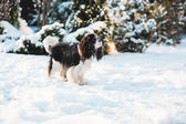 Photo funny cavalier king charles spaniel dog covered with snow playing on the walk in winter garden. Dogs having fun outdoor.