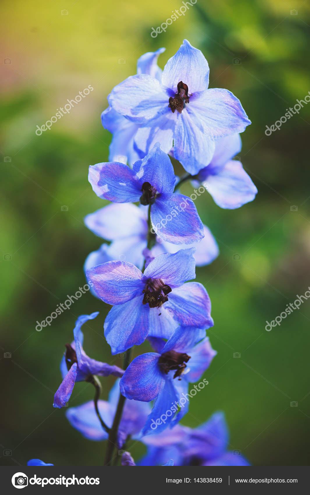 Flowering Delphinium Closeup In Summer Garden Growing Beautiful