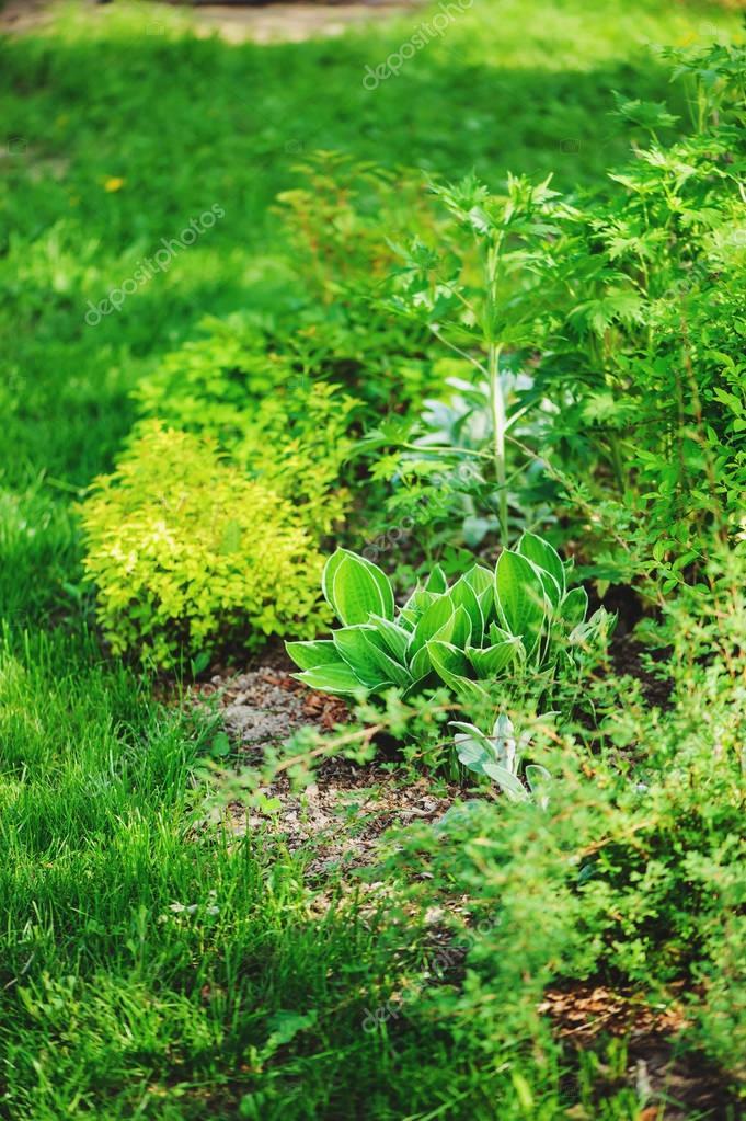 mixed perennial border with hostas, spirea, delphinium and Stachys in summer garden