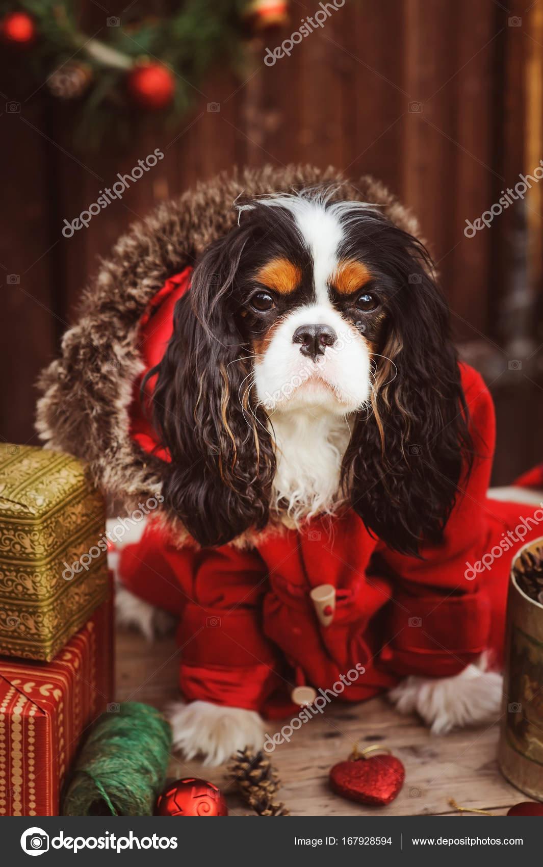 netter lustiger Hund feiert Weihnachten und Neujahr mit Dekorationen ...