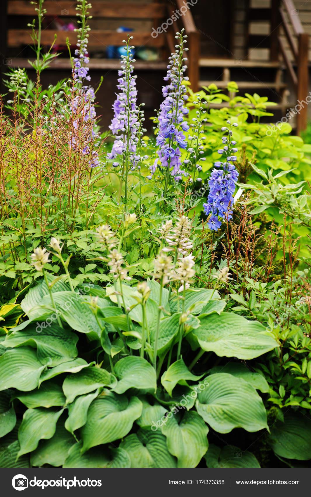 Flowering Delphinium Closeup Summer Garden Growing Beautiful Blue