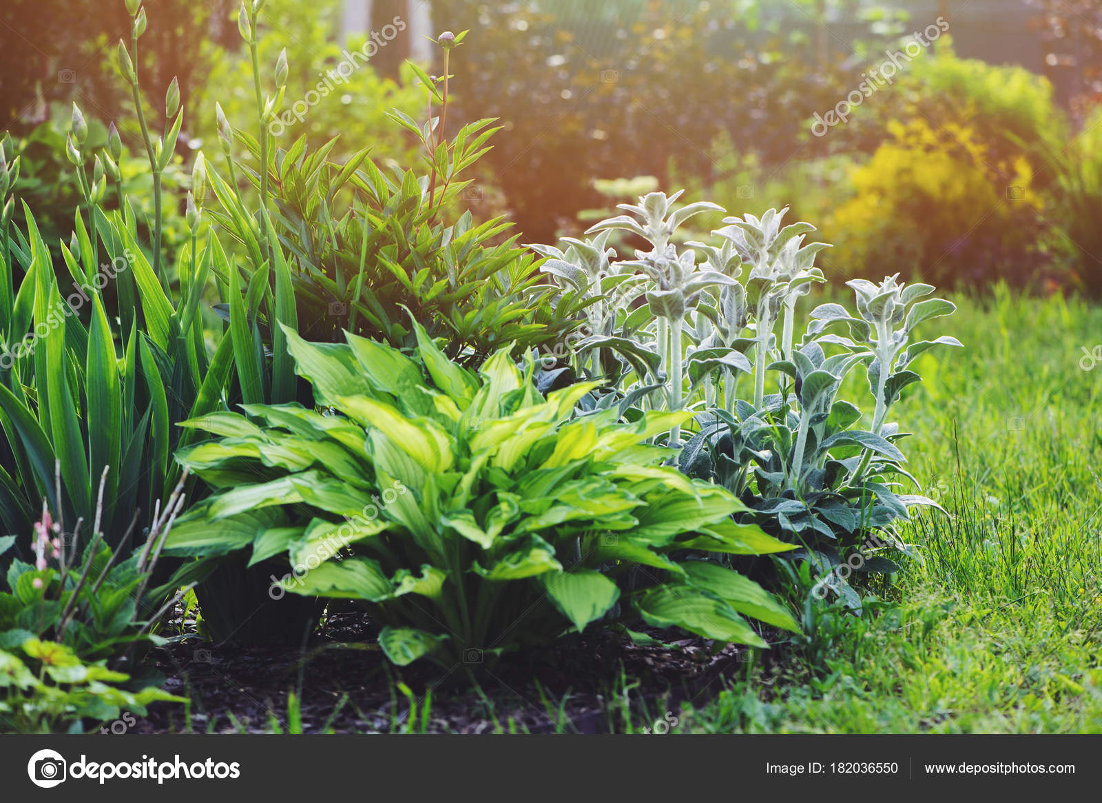 Pianta Orecchie Di Agnello stachys byzantina lamb ears planted flowerbed hostas other