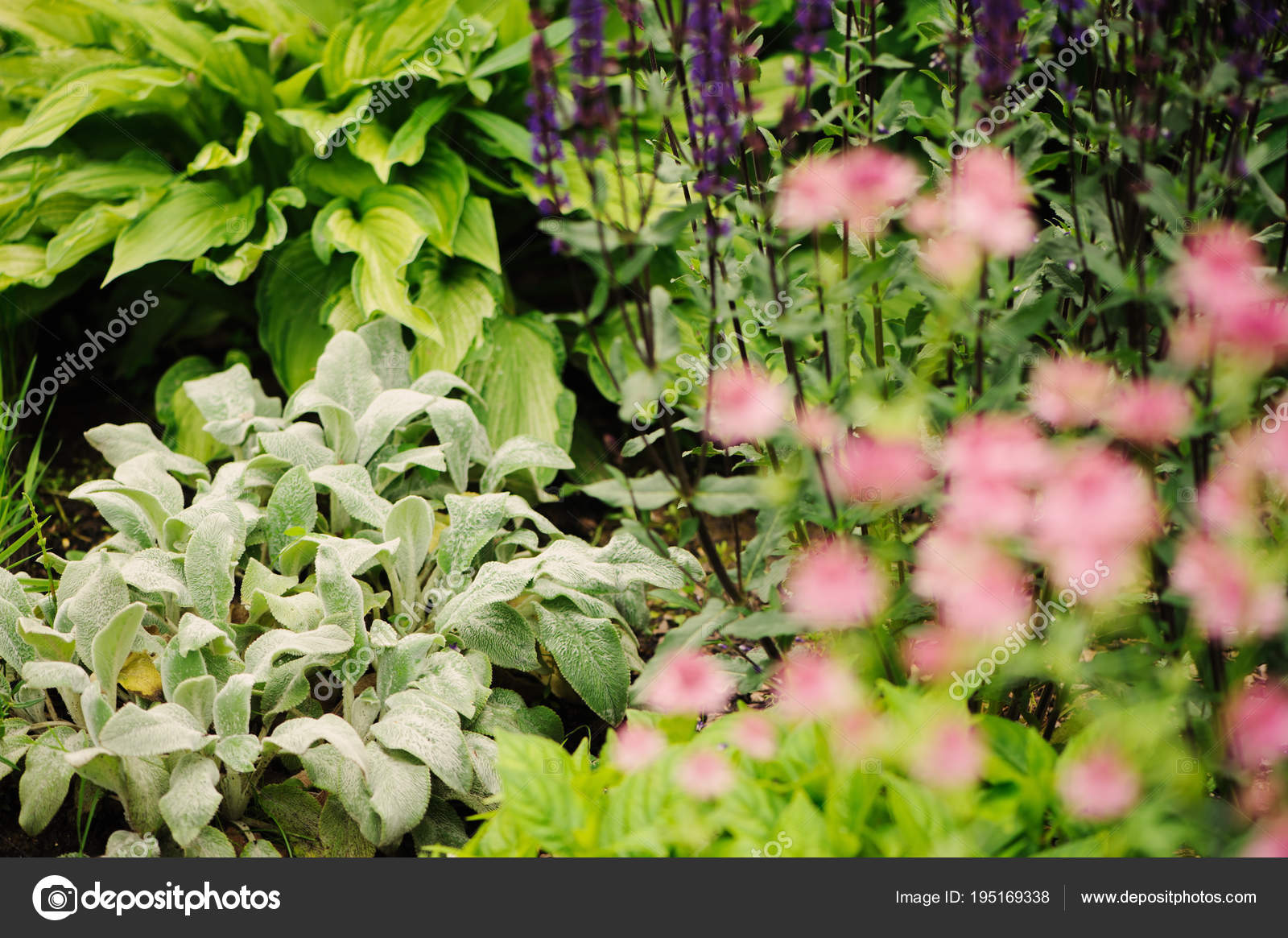 Stachys lamb ears planted flowerbed other blooming perennials summer stachys lamb ears planted flowerbed other blooming perennials summer garden stock photo mightylinksfo