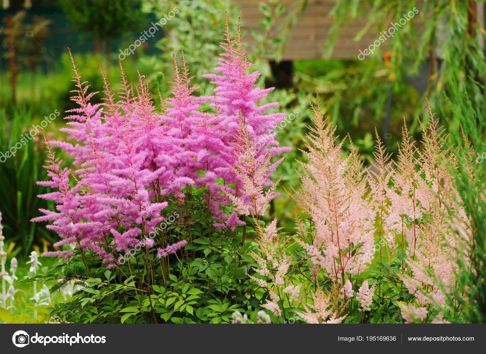 floraison rose astilbe jardin Été mixed border coloré — photographie