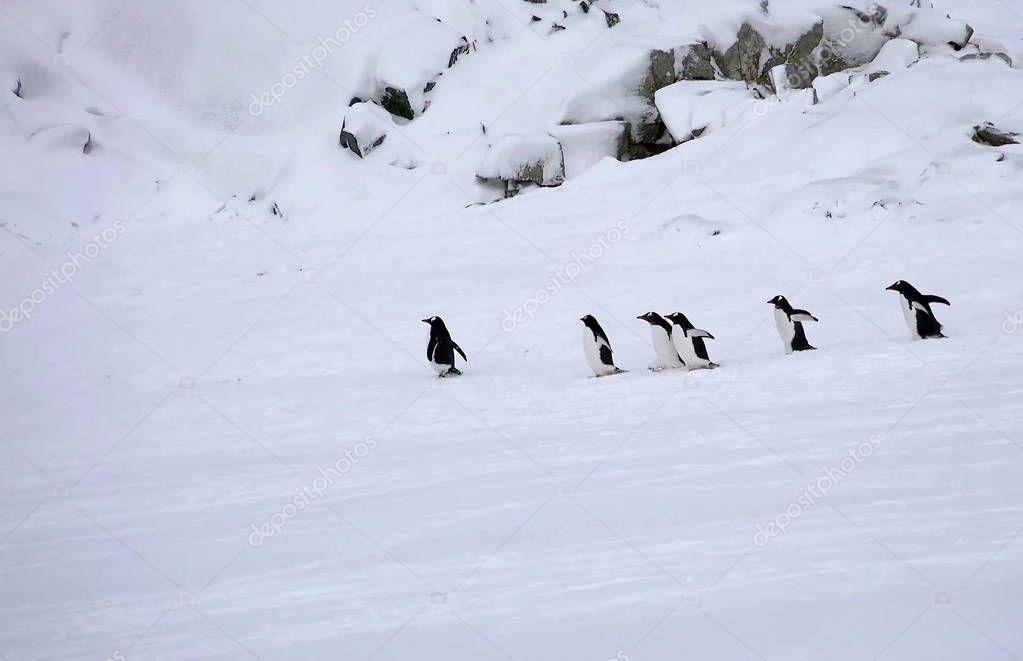 Emperor Penguin colony Antarctica.